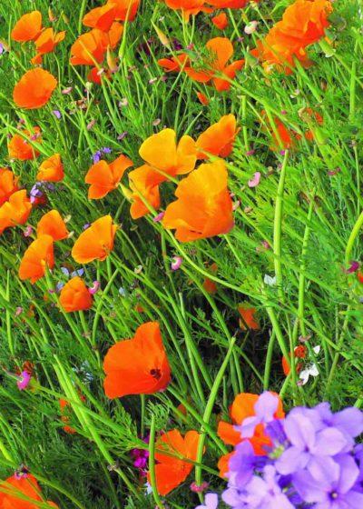 Fleurs Vars